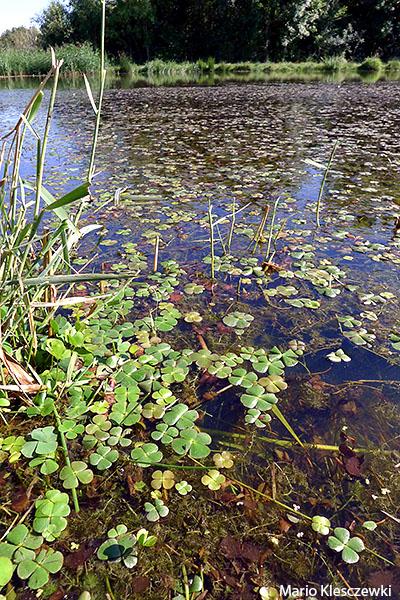 22.3130=+3130-2 Eaux stagnantes à végétation vivace oligotrophique des régions continentales à Marsilea quadrifolia Brenne