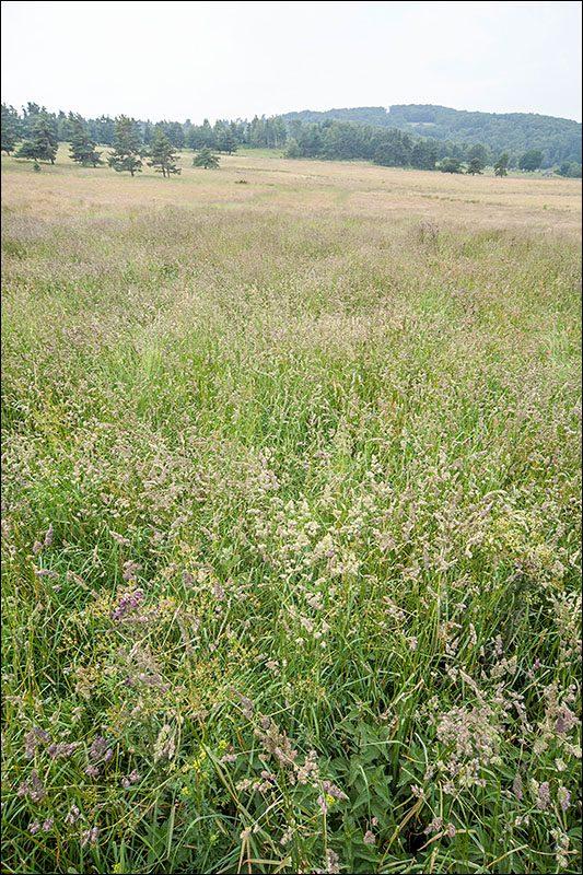 38.2100-Prairies-fauchées-mésophiles-à-méso-xérophiles-à-Dactylis-glomerata-Lozère.jpg